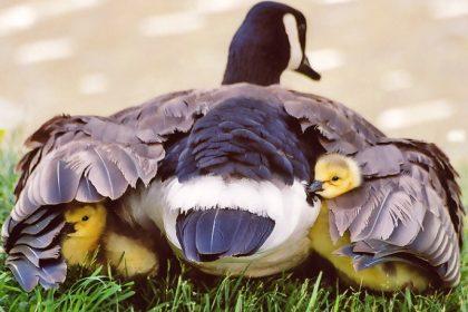 Abrite-toi sous ses ailes